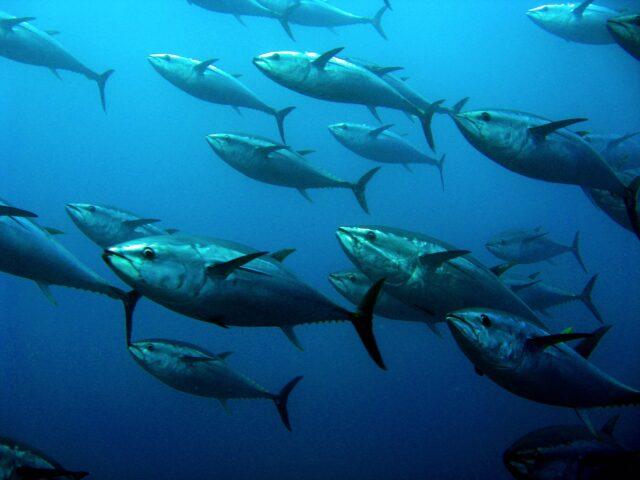 De tonijn behoort tot de familie van de Makreelachtigen.